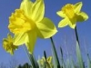 Rogue Daffodil