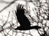 ravensghost