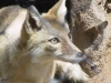 Asiatic Fox