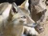 Asiatic Fox