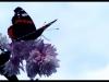 Azalee Schmetterling