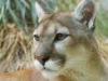 Wildecat