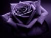 Purple_Roses43