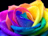 The Rainbow Rose Club