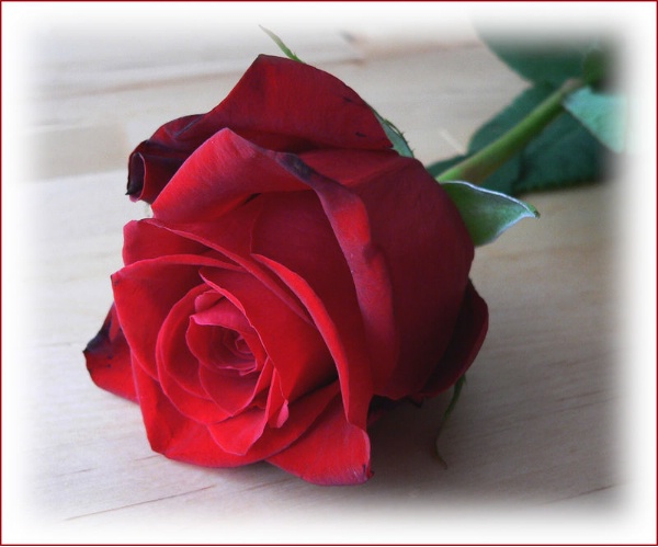 red rose kisses writerscafe org the online writing community