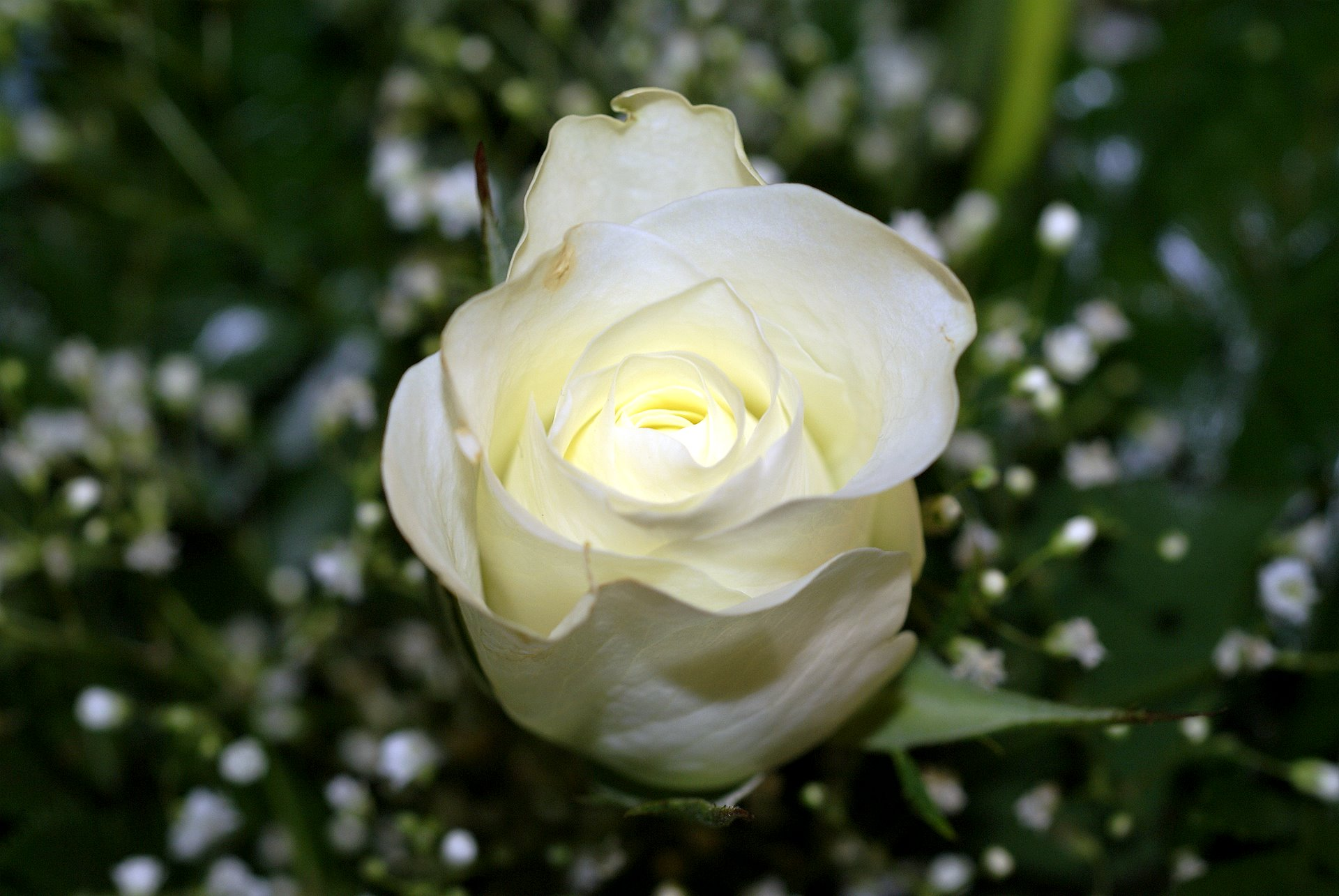 A Single White Rose | WritersCafe.org | The Online Writing ...