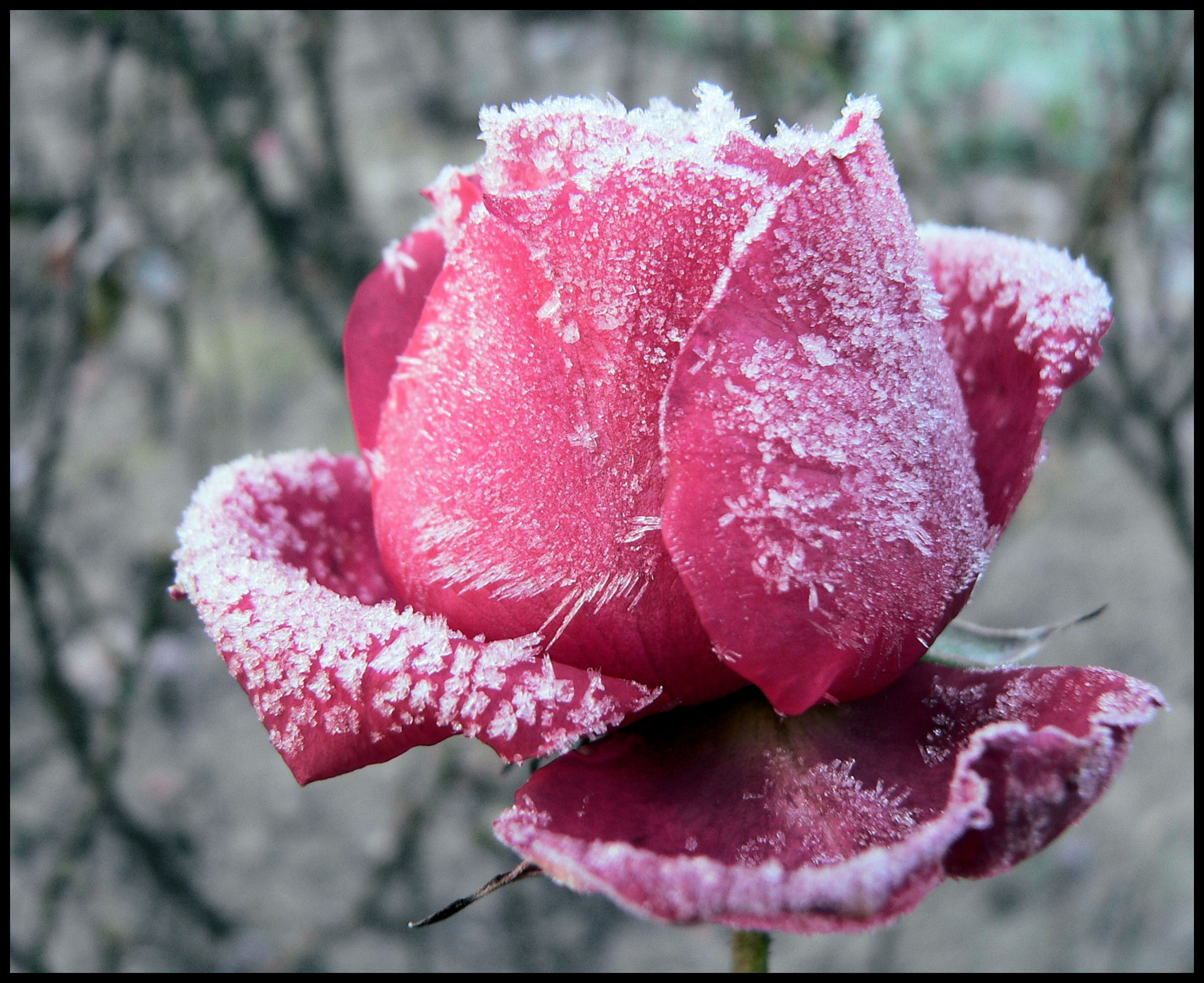Frozen Rose Wallpaper HD Download For Desktop and Mobile