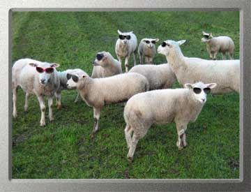 moutons aveugles