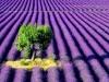 Lavender lullaby