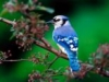 The Blue Jay
