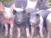 Hogs Dont Make Good Gardeners