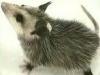 The Great Possum Caper