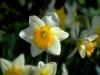 Spring's Lifebuds