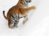 Tiger of Ice