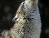 Wolf's Roar