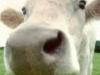 Cow Dodging