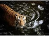 Maybe Tigers Swim at Night