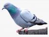 Pigeon Plumb Bob